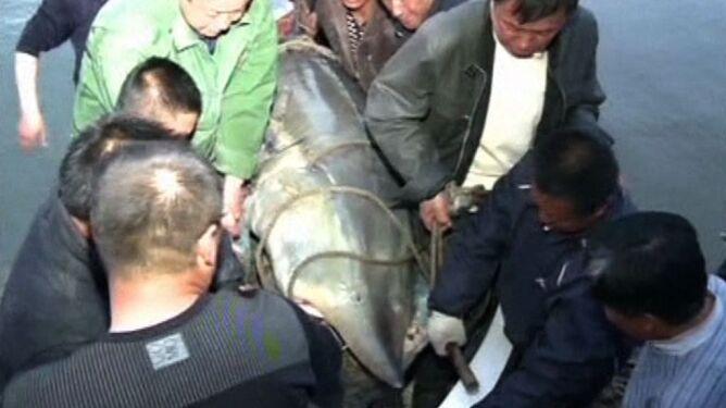 Wielka ryba złowiona w Chinach. Ten okaz waży 617 kg